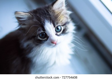 portrait of the small kitten sitting on the windowsill near the window and looking up