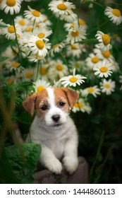 portrait of a small puppy Jack Russell Terrier dog standing in the summer near the flowers of chamomile in the grass