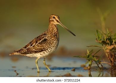 Portrait, small wader,migratory bird with long bill,Common Snipe, Gallinago gallinago, brown plumage with straw-yellow stripes feeding in shallow water reflecting bird's silhouette in early morning.
