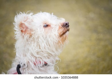 a portrait of a small white dog with curly hairs with a tender and attentive look