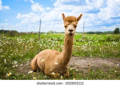 Portrait of a smart pretty male brown alpaca sitting in the summer meadow