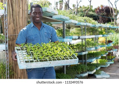 Portrait of smiling African American gardener holding crate with seedling in greenhouse