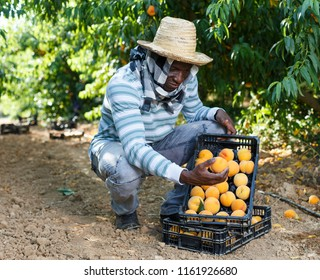 Portrait of smiling African-American farmer with boxes of freshly harvested ripe peaches in fruit garden