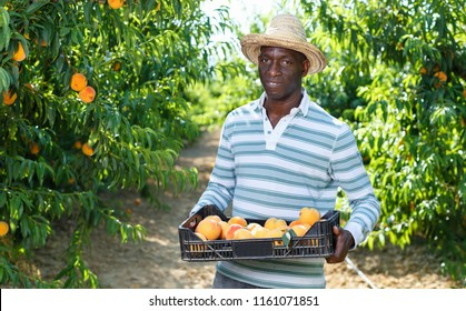 Portrait of smiling cheerful African-American farmer with boxes of freshly harvested ripe peaches in fruit garden