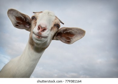 Portrait of a smiling goat