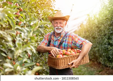 Portrait smiling male farmer harvesting red apples in sunny orchard