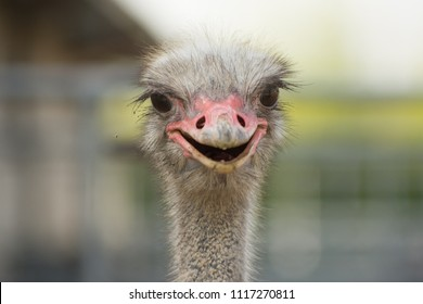 Portrait of a smiling ostrich