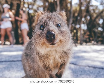 Portrait of a smiling Quokka on Rottnest Island, Perth, Australia