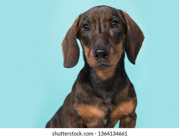 Portrait of a smooth haired Dachshund looking at the camera on a blue background