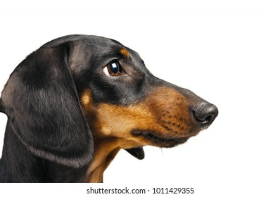 Portrait of smooth-haired dachshund dog isolated on a white background.