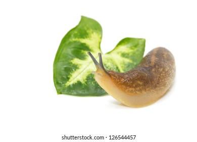portrait of snails on a white background. macro