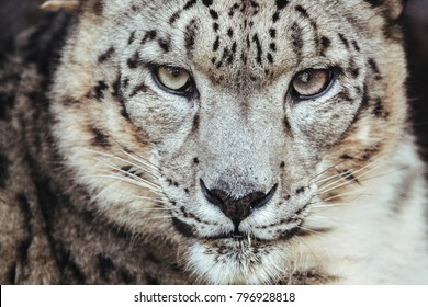 Portrait of Snow Leopard facing towards camera