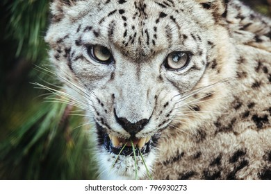Portrait of Snow Leopard Growling