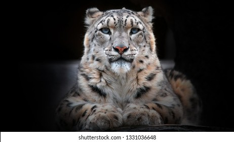 Portrait of a snow leopard looking straight and growling - Image