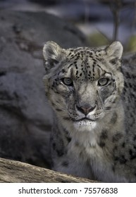 Portrait of a Snow Leopard looking towards the camera.