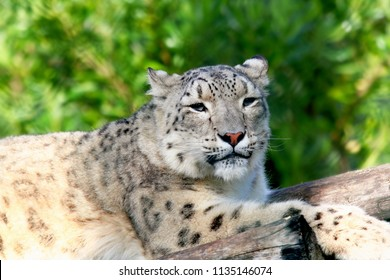 Portrait of a snow leopard resting on a tree trunk