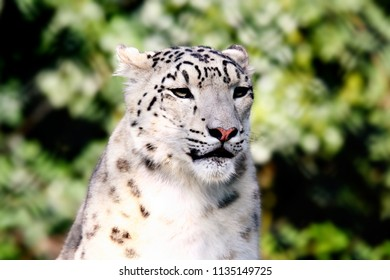 Portrait of a snow leopard in sunlight and a green background