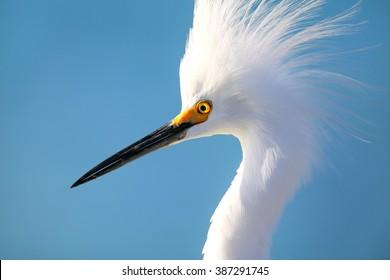 Portrait of Snowy egret (Egretta thula) against blue sky