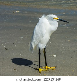 Portrait of a snowy egret standing   on a Florida beach with its plumage ruffling in the wind.
