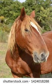 Portrait of a sorrel Percheron horse free in a meadow