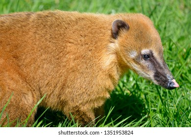 Portrait of South American Coati, or Ring-tailed Coati (Nasua nasua) seen from profile in grass