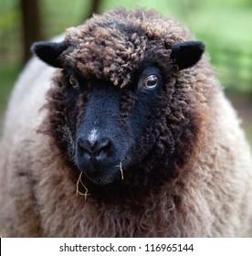 Portrait of Southdown Shetland Sheep