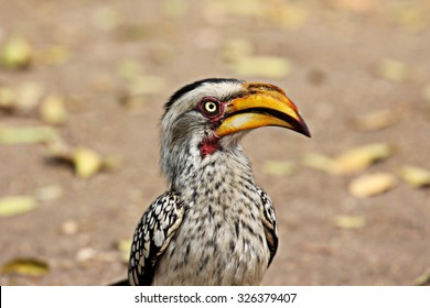 A portrait of a Southern Yellow-billed Hornbill in Krueger National Park.