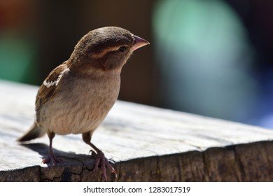 Portrait of a sparrow perching on a picnic table