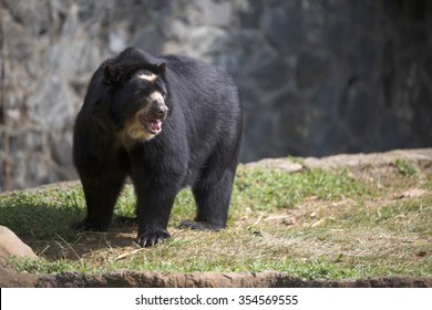 Portrait of spectacled bear (Tremarctos ornatus)