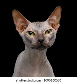 Portrait of Sphynx Cat with Beautiful eyes Curious Looking in Camera Isolated on Black Background, front view