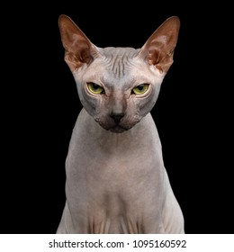 Portrait of Sphynx Cat with Beautiful eyes Angry Looking in Camera Isolated on Black Background, front view