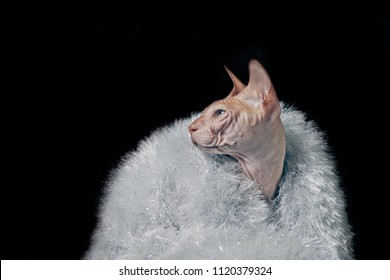 Portrait of a sphynx cat wearing tinsel - isolated on black background.