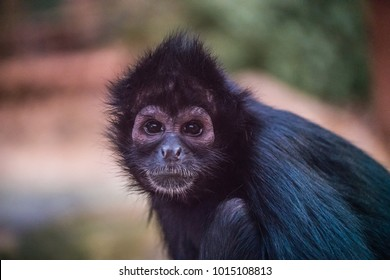Portrait of a spider monkey.