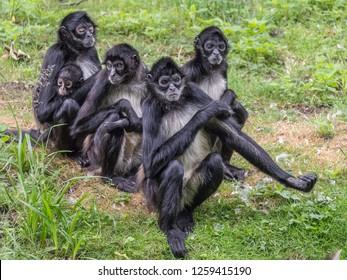 The portrait of spider monkey family. Prague, Czech Republic