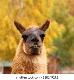 portrait of spitting llama over beautiful colored autumn background