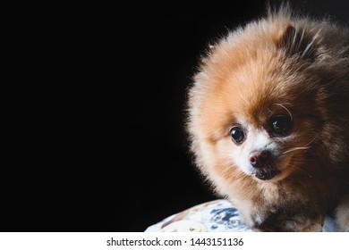 Portrait of a Spitz breed dog - Pomeranian