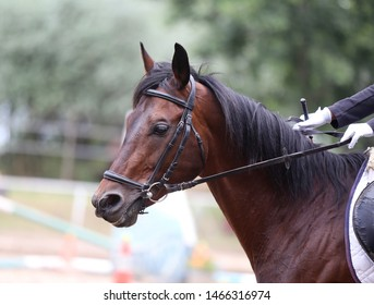 Portrait of a sport horse during dressage competition under saddle. Beautiful dressage horse portrait closeup during competition on natural background summertime