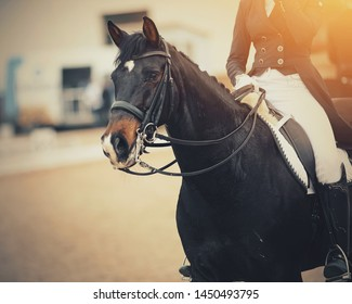 Portrait sports brown stallion in the double bridle. Dressage of horses in the arena. Equestrian sport.