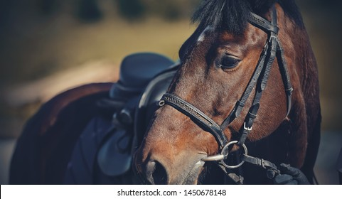 Portrait of a sporty brown saddled horse in a bridle. Equestrian sport.