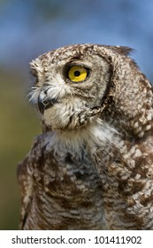 Portrait of a Spotted Eagle Owl