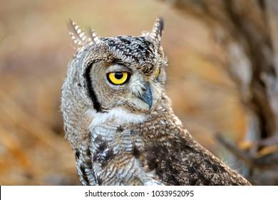 Portrait of a spotted eagle-owl (Bubo africanus), Kalahari desert, South Africa