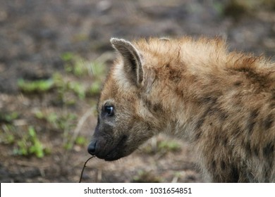 Portrait of a spotted hyena.