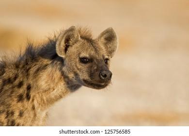 Portrait of Spotted Hyena; Crocuta crocuta