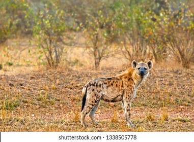 Portrait of a spotted hyena (Crocuta crocuta) in Maasai Mara, Kenya, Africa.