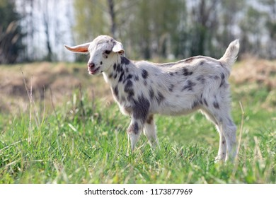 Portrait of spotted little goatling in the meadow, White goat with gray spots