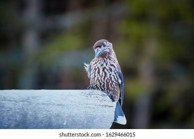 Portrait of Spotted nutcracker, Nucifraga caryocatactes, dark chocolate brown, heavily white spotted euroasian, high altitude bird. Wildlife of Dolomites, Pale di San Martino mountains, Italy.