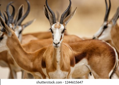 Portrait of a springbok - Kgalagadi Transfrontier Park - South Africa