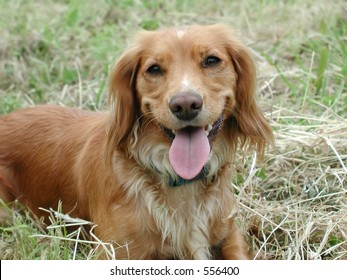 Portrait of a springer spaniel pedigree dog