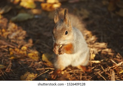 Portrait of a squirrel eating nuts in an autumn park