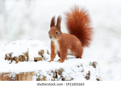 Portrait of squirrels close up on a background of white snow